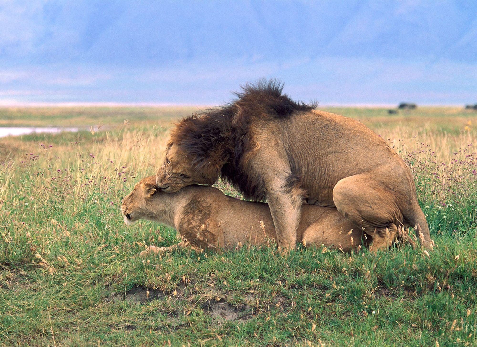 afrikanske dyr savannen