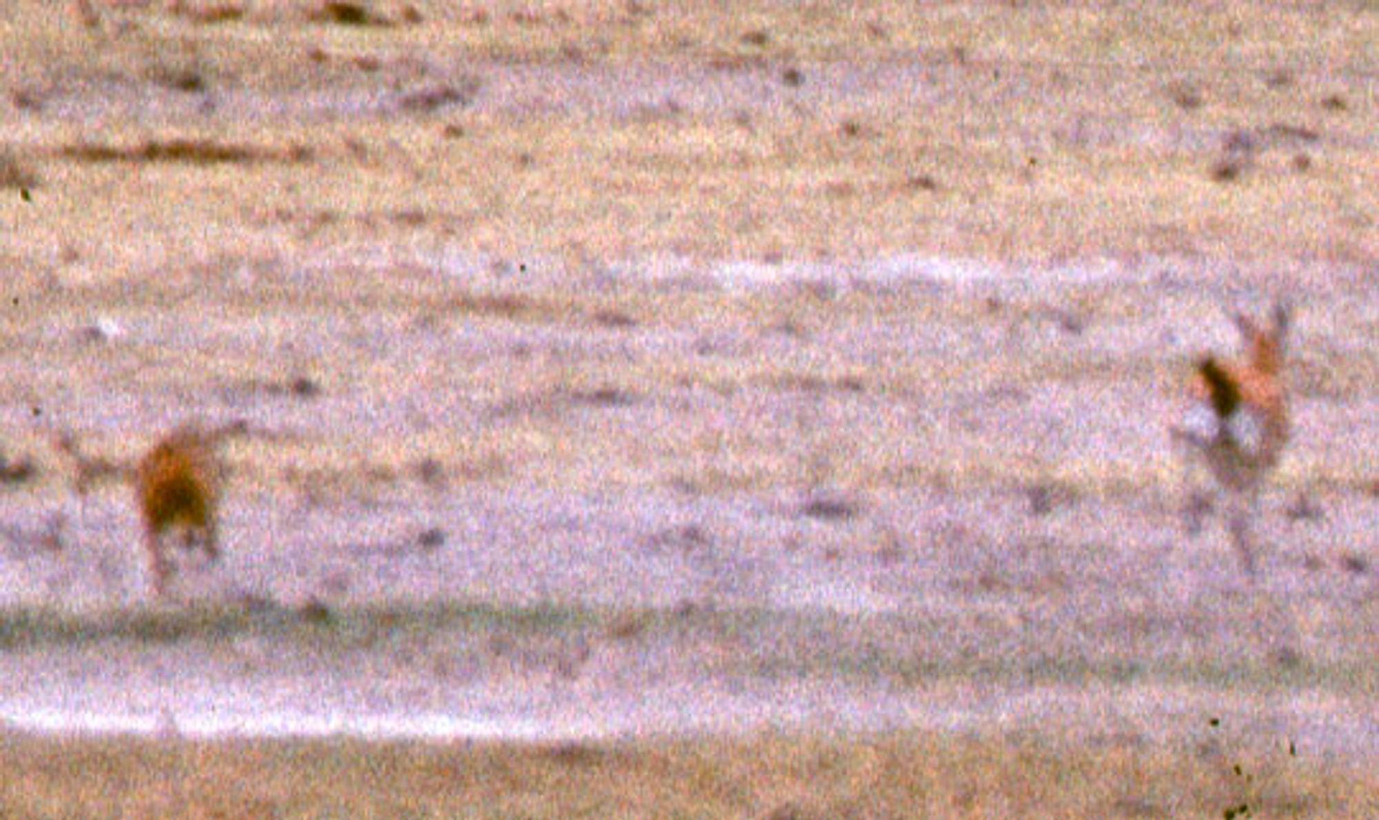 Gepard jakter Tomson-gaselle.