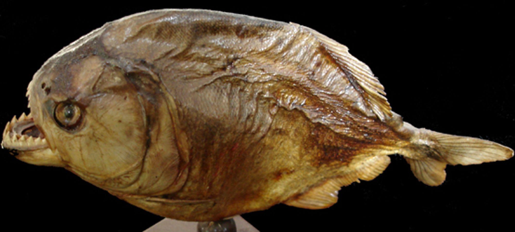 Vi gleder oss til kjøttetende pirayaer i 3-D.