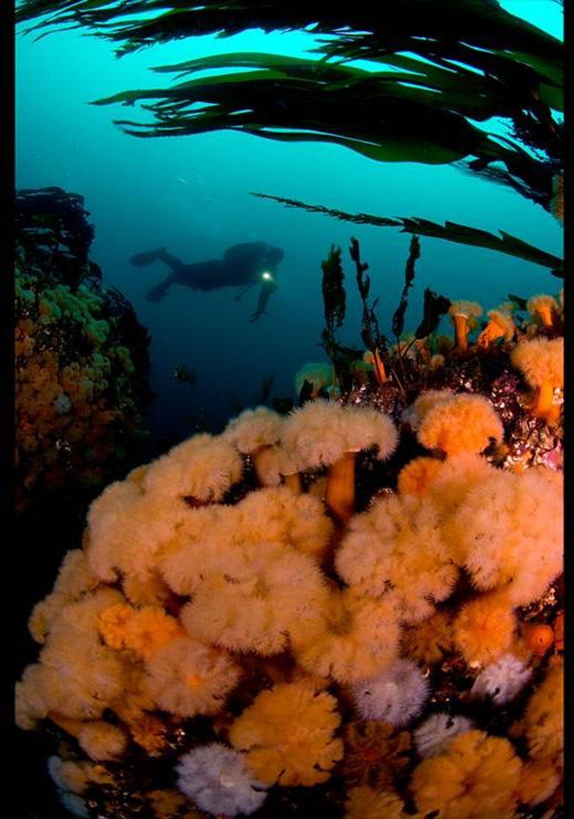 Vinnerbildet i kategorien Vidvinkel med dykker. Foto: Vidar Skålevik.