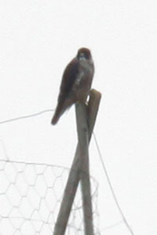 Dårlig bilde, men nok til å identifisere fuglen.