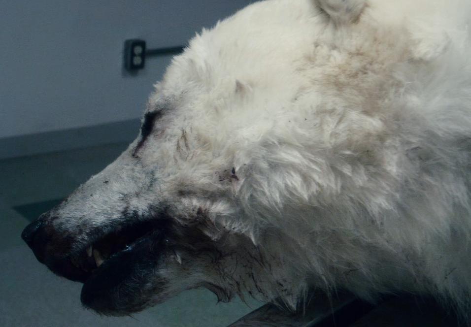 Isbjørner lider under global oppvarming.