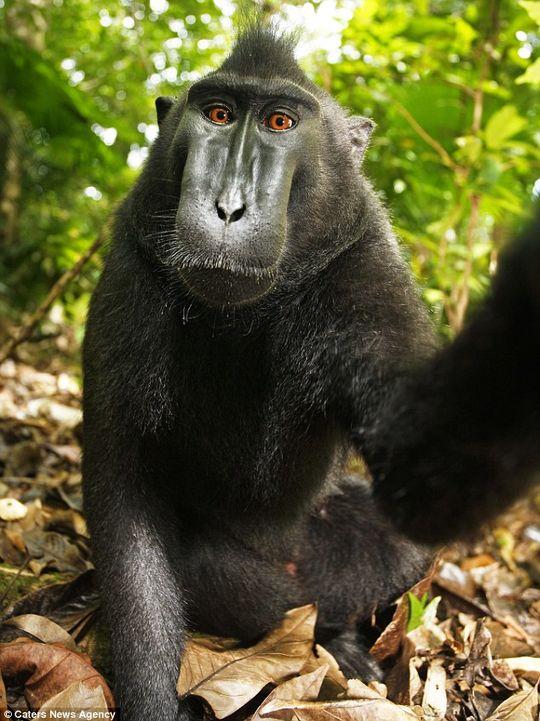 Poserer foran kameraet: Det tok ikke lang tid før apen begynte å knipse selvportretter. Foto: Caters News Agency, David Slater.