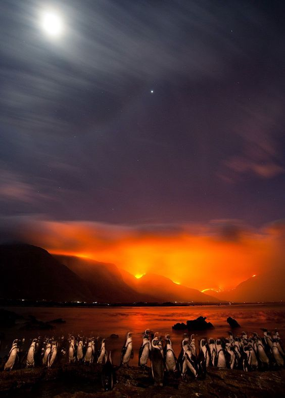 CAPE TOWN, SOUTH AFRICA - UNDATED: African penguins huddle together on the shores of a rocky point while fires burn on the slopes of the hottento holland mountains in Bettys Bay, near Cape Town, South Africa. Foto: Shem Compion / EPOTY.ORG ( BULLS )