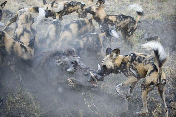 BOTSWANA, AFRICA: African Wild Dogs attacking a warthog in Northern Botswana, Africa. Foto: Suzi Eszterhas / EPOTY.ORG ( BULLS )