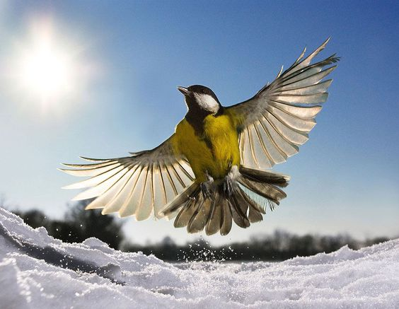 A bird leaping from the snow. Foto: Jamie Unwin ( BULLS/EPOTY.ORG )