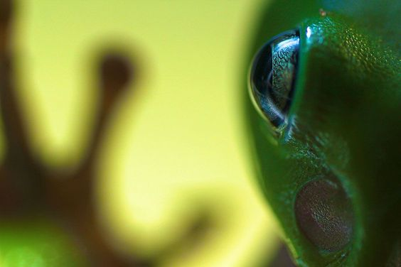 Fully grown green tree frog, sitting on glass window. Foto: Thomas P. Peschak ( BULLS/EPOTY.ORG )