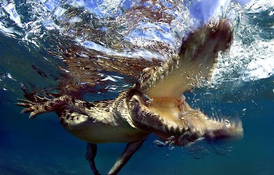 A juvenile Saltwater crocodile taking a bite after the photographer got a bit too close with his camera. Foto: Jamie Unwin ( BULLS/EPOTY.ORG )