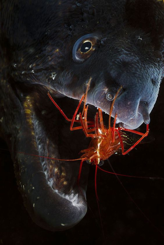 This fearless cleaner shrimp gets into this moray eel to clean his teeth. Foto: Jamie Unwin ( BULLS/EPOTY.ORG )