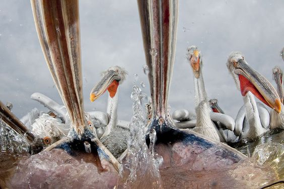 Hungry Pelicans. Foto: Bence Mate ( BULLS/EPOTY.ORG )