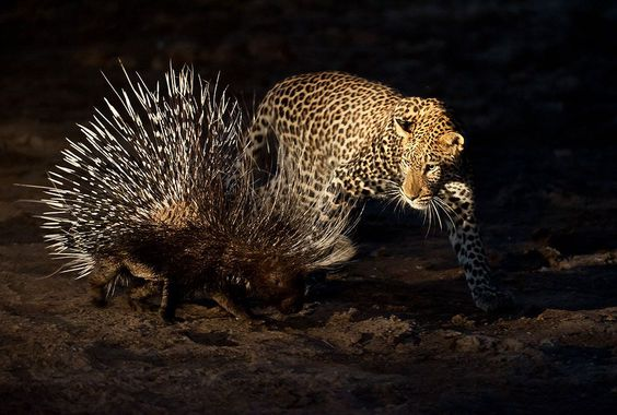 A male leopard tries to stalk and hunt a porcupine in Mashatu Game Reserve, Botswana. The leopard was relaxing in the cool of the riverbed, when the porcupine came to feed on the tree roots protruding out of the riverbank. It ended up in this hunt- the result being a stalemate. Both animals are free and wild. A soft hand held light was used to illuminate the scene from the side.'. Foto: Shem Compion ( BULLS/EPOTY.ORG )