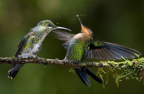 Green-crowned Brilliant hummingbird female driving a blow to a male. Foto: Csaba Tokolyi ( BULLS/EPOTY.ORG )