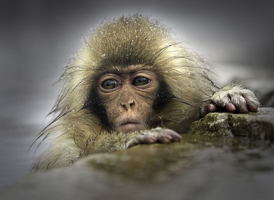 A wild infant Japanese Macaque. Foto: Graham Morgan ( BULLS/EPTOY.ORG )